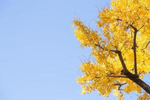 Yellow leaves on the tree photo