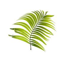 Green coconut tree leaf photo