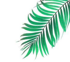 hoja de palma verde menta foto