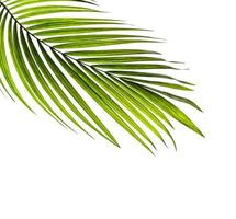 Coconut tree leaf with copy space photo
