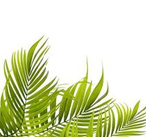 Green coconut tree leaves photo