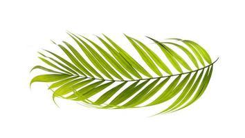 hoja de palma aislada sobre fondo blanco
