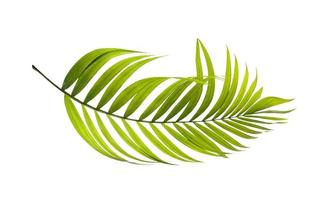 Curved green palm leaf photo