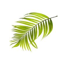 Light green palm tree leaf on white background photo