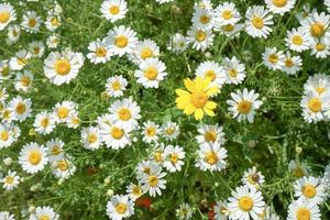 Top view of a bunch of daisies photo