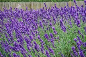 Blossomed lavender flowers