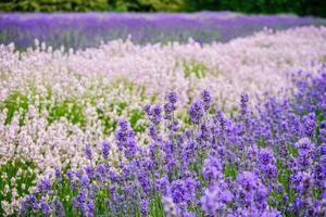 horario de verano flor de lavanda foto