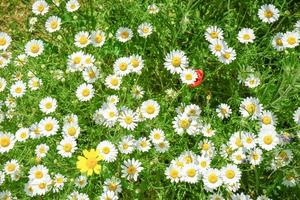 Top view of daisies