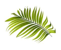 una sola hoja de palma verde foto