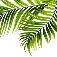dos hojas de palmera sobre fondo blanco foto