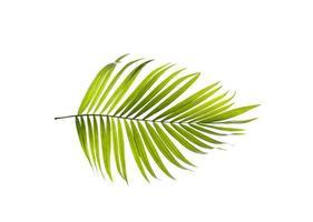 única hoja de palma verde brillante foto