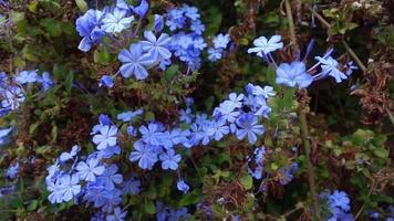flores de phlox luna azul