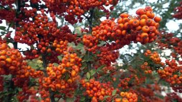 Pyracantha Navaho Firethorn Tree