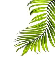 Curved green tropical leaf on a white background