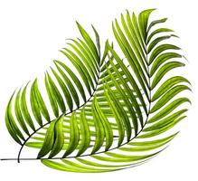 Two curved palm leaves