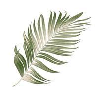 Dry palm leaf photo