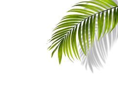 Green palm leaf with shadow
