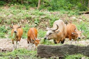 gaurs comiendo hierba