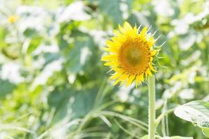 girasol en flor