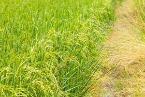 Rice field in Thailand photo