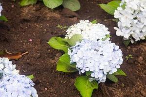flores azules en el parque foto