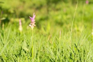 Krachai flower blooming in the field photo
