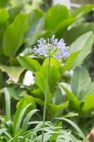 flor azul en el parque foto