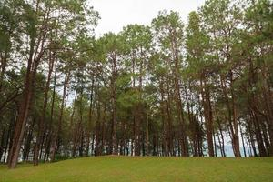 Pine growing on the lawn on a hill in the park photo