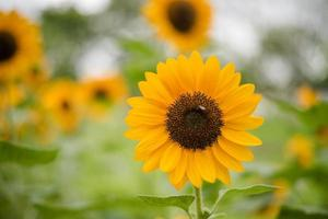 Close-up of a blooming sunflower in a field with blurred nature background