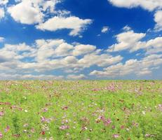 Field of cosmos and sky photo