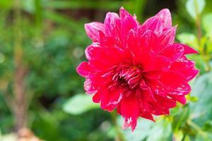 Red flower in full bloom