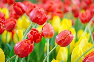 Fresh red tulip flowers photo
