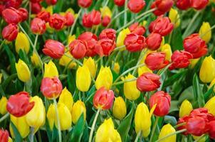 Tulips in the garden photo