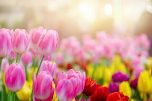 Beautiful pink tulip flowers photo