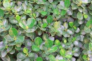 Green leafed hedge