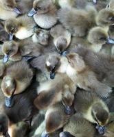 vista superior de patos bebé