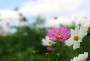 Cosmos flowers outside
