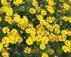 Yellow cosmos flowers photo