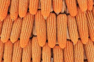 Dried yellow corn