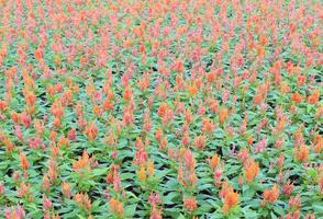 campo de flores de naranja foto