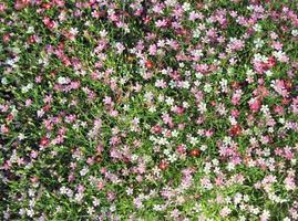 vista superior de flores de gypsophila foto