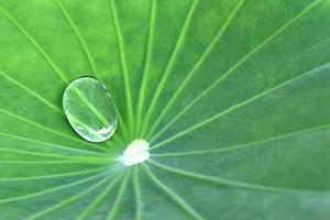 Water on lotus leaf photo