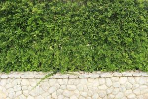 Green hedge and stone wall photo