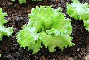 Green lettuce growing