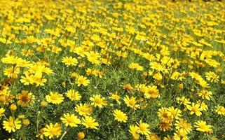 Field of yellow flowers outside photo