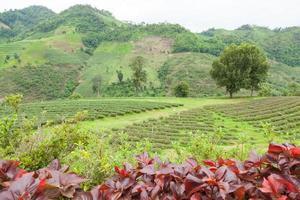 árbol en una granja de té