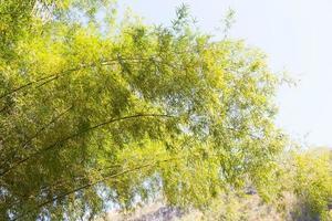 bambú verde fresco en tailandia foto