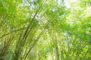 Fresh green bamboos in Thailand photo