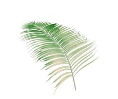 Faded green palm leaf
