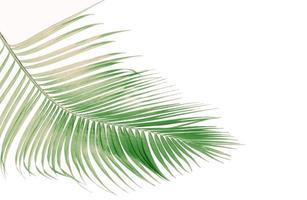 hojas de coco descoloridas